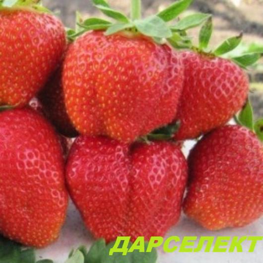 Клубника Зенга Зенгана – описание сорта, фото, отзывы садоводов   530x530